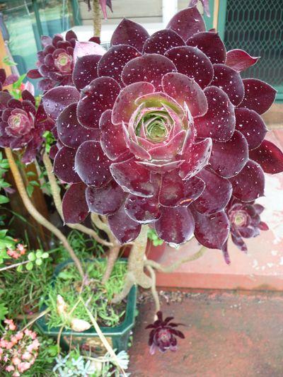 Aeonium arboreum [1]