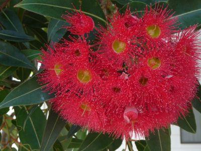 Red Flowering Gum[1]