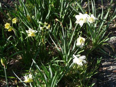 Daffodil Patch 21Aug2011(1)