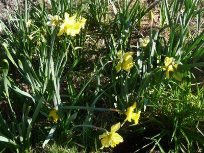 Daffodil Patch 21Aug2011(4)