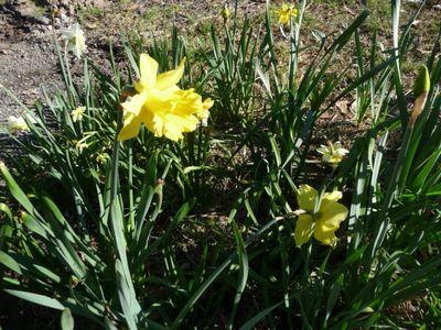 Daffodil Patch 21Aug2011(2)