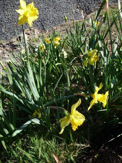 Daffodil Patch 21Aug2011(3)